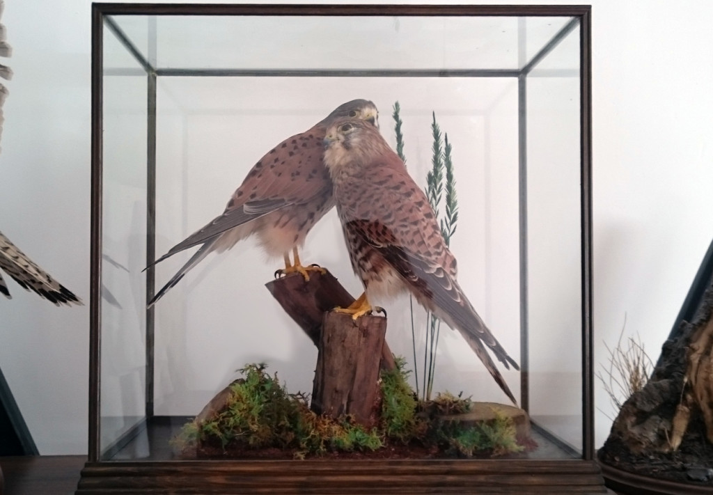Decor taxidermy cased