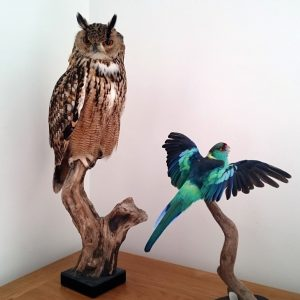Bengal eagle owl and Rosella parakeet taxidermy